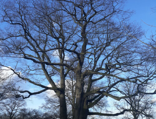 Van monumentale boom naar veteranenboom