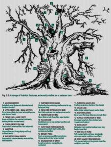 Kenmerken Veteranenboom