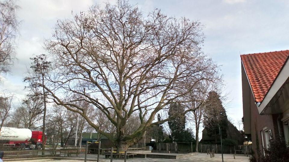 Grote monumentale boom op schoolplein